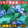 【レシピ】おうちで果実酒シリーズ!ブルーベリー酒!