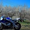 春の月ヶ瀬へお花見ツーリング!梅満開で超気持ちいいオススメコース!