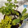 キッチンハーブの寄せ植え ~英国シェークスピアの庭のハーブ