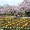 蘆花恒春園の高遠小彼岸桜を見に行ってきました