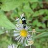 青白黒が綺麗なラミーカミキリは、狙いやすくておススメの虫
