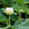 霞ヶ浦付近のハスの花