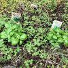 バジルとミニトマト植えた