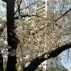 遅咲きの桜と早咲きのツツジ