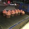 台中 たくさんのマンゴーです