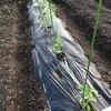 市民菜園で野菜づくりに挑戦!3
