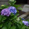 雨には紫陽花がよく似合う