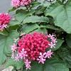 【花の名前】山丹花(サンタンカ)
