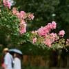 京都御苑の満開の百日紅