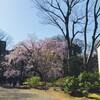 枝垂れ桜の六義園