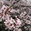 桜を見るなら奈良がいい