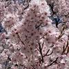 雑感 Vol.154 ~高遠城址公園 桜満開~