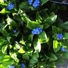 ワスレナグサが2度咲いて、暑さに弱いのに夏越しする気?