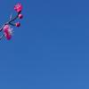 佐布里池の青空に映える紅梅