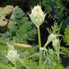 ニンジン(人参)の白い花