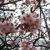 万代長嶺小学校脇、気の早い桜達