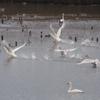 冬鳥の飛来地を訪ねて2 新潟県福島潟4