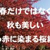 桜は春だけではなく秋も美しい、真っ赤に染まる桜紅葉(さくらもみじ)