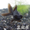 (金魚)黒出目金(約5cm)(3匹)【水槽/熱帯魚/観賞魚/飼育】【生体】【通販/販売】【アクアリウム】