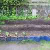 【家庭菜園】大きなししとうとトウモロコシの種を再び、蒔きました