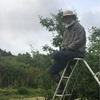 果樹園の摘果作業。