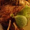 P.andinum からまたまた新芽が出てきた。