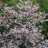 桜を『てんぐ巣病』から守ろうっ