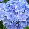 【写真館】紫陽花の季節は雨がよく似合う