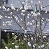 日曜の庭から・・・ジューンベリー、カバープランツ、種から育てる