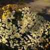 菊の冬至芽は株分けがいい?株分け以外に冬至芽から菊を増やす方法とは