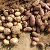 ジャガイモ半分だけ収穫しました ~ 貸農園