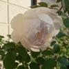 最後の開花をまだ続けているバラ・できなかったバラ