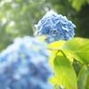 【花】アルバム:鎌倉の紫陽花【おさんぽ】