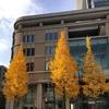 黄葉したイチョウの落葉