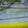 SEL70350Gで撮るネモフィラ・菜の花・スイセンとチューリップの作例