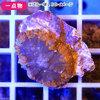 (海水魚 サンゴ)一点物 ディスクコーラル オレンジ CM-10677(1個) 北海道航空便要保温