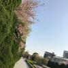 散りゆくスピードは咲いていくスピードよりゆっくりだ。広島 桜の名所 平和公園 2017年4月14日現在の開花情報。