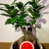 【多幸の木】ガジュマルにひとめぼれ!初心者が上手に育てます!#1
