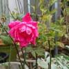 バラはいつまでも咲くのですなあ。