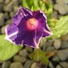 アサガオが10月に咲いたんですよ