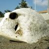 ハコフグの死骸