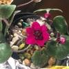 真っ赤な三段、咲きました。