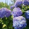 トレイルラン登りの練習の時の決め事 紫陽花と久々のトレイルラン