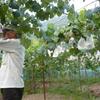 葡萄の販売はじまりました。