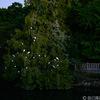 白鷺がいっぱい木に止まっている
