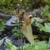 トンボの羽化 & アサザの花