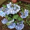 雨の重みで紫陽花が倒れるなんて知らなかった…