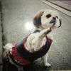 愛犬(シーズー)キティ18年間ありがとう