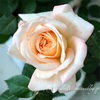 "【庭】Rosa.min "" Perfuma Kordana """