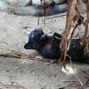 浜松市動物園にクロヒョウの赤ちゃんが。なので、黒猫の動画像を集めてみた。